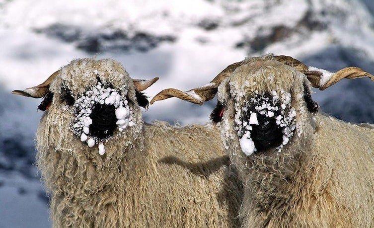 mouton3