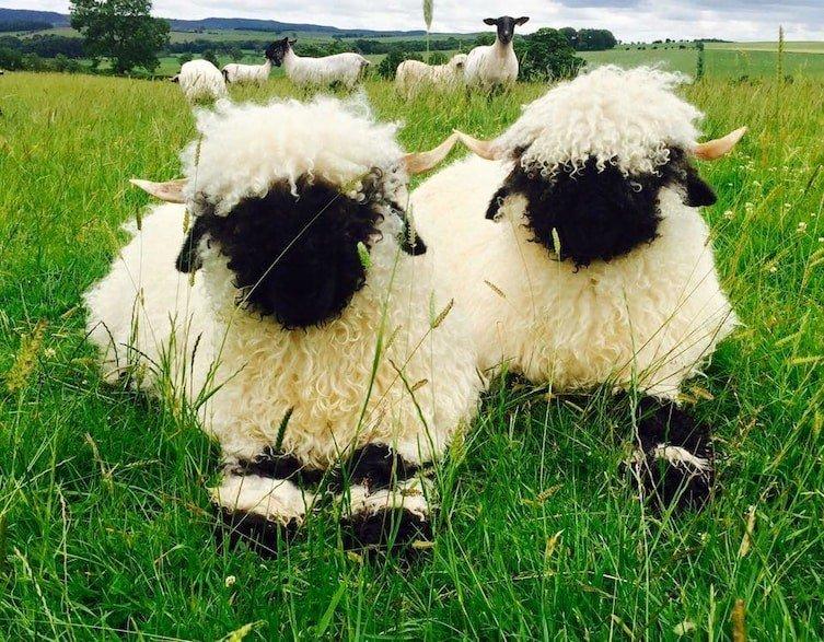 mouton5