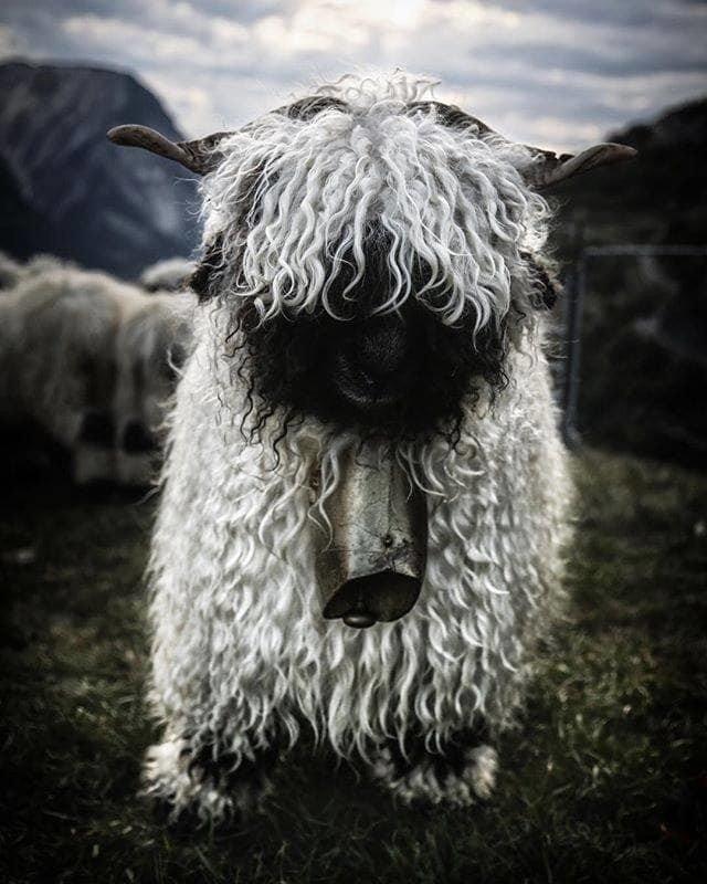 mouton6