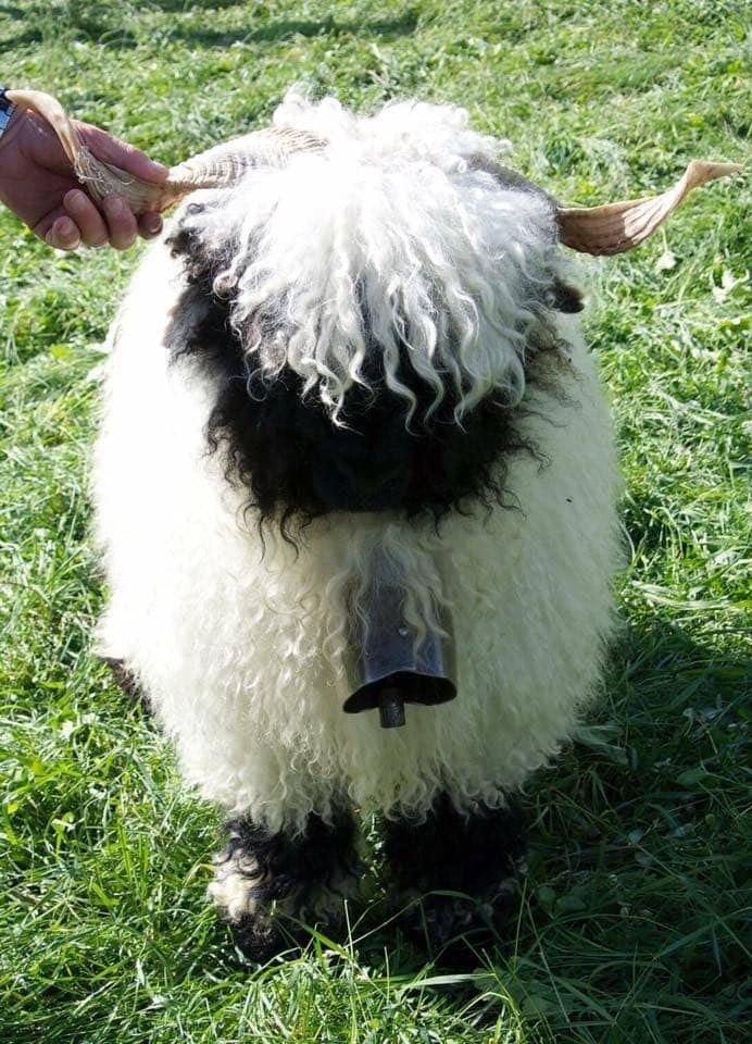 mouton9