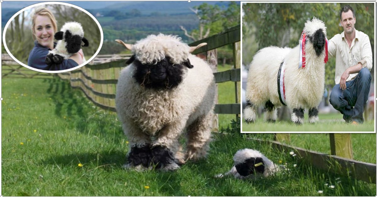 sheepthumb2 - Folks Can't Agree on Whether These Sheep Are Adorable or Outright Creepy- Beauty is in the Eyes of the Beholder