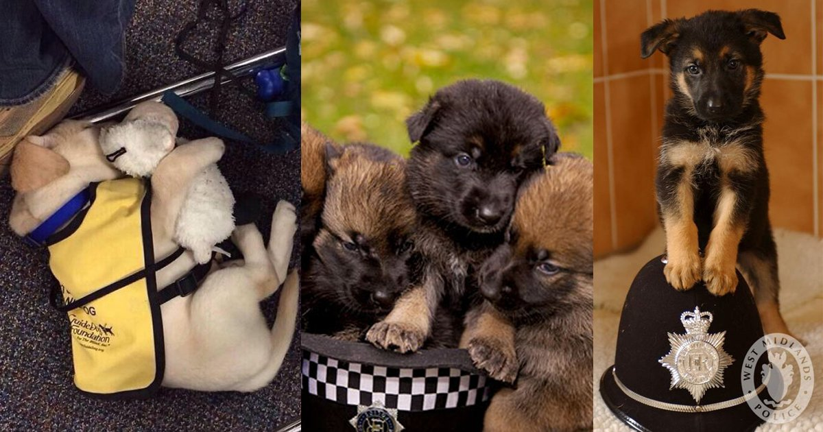 untitled copy 2 - 10+ Puppies Have Their First Days At Work And The Hilarious Moments Will Make Your day