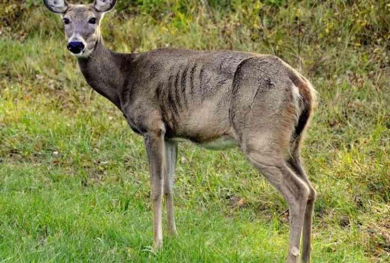 zombie-deer-maladie-1