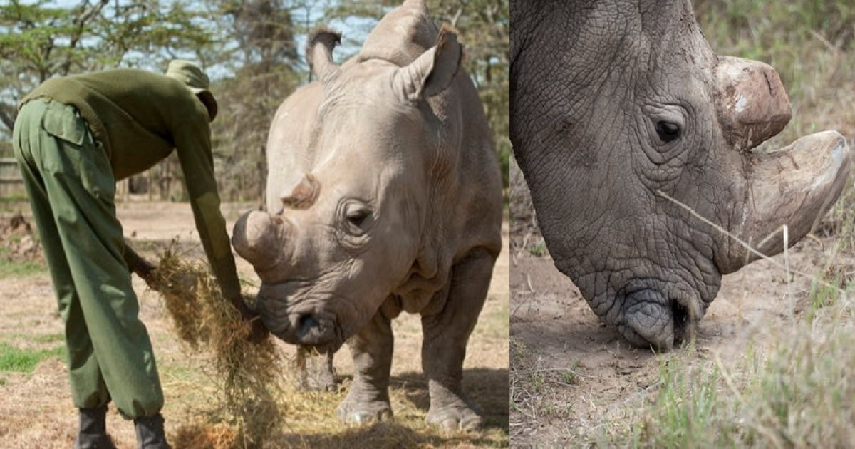 111 5.jpg?resize=300,169 - 지구상 유일했던 '수컷 흰코뿔소'... 세상을 떠나다