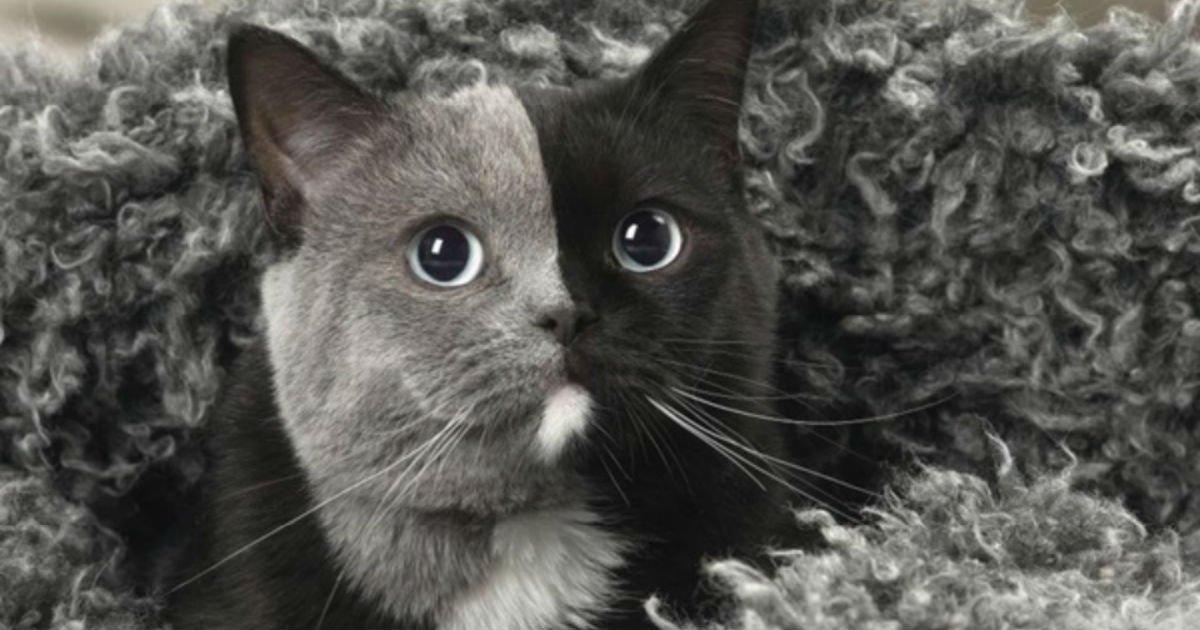 134.jpg?resize=1200,630 - 얼굴색이 '딱' 반으로 나눠져 신비로운 고양이 (사진 9장)