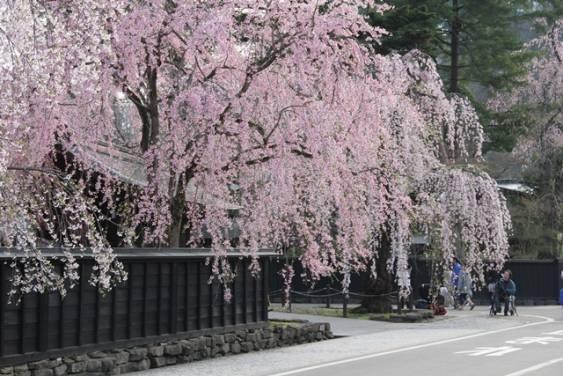 角館の桜まつり에 대한 이미지 검색결과