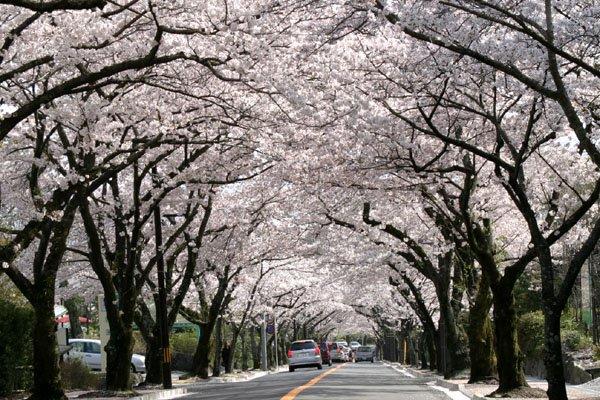 伊豆高原桜まつり에 대한 이미지 검색결과