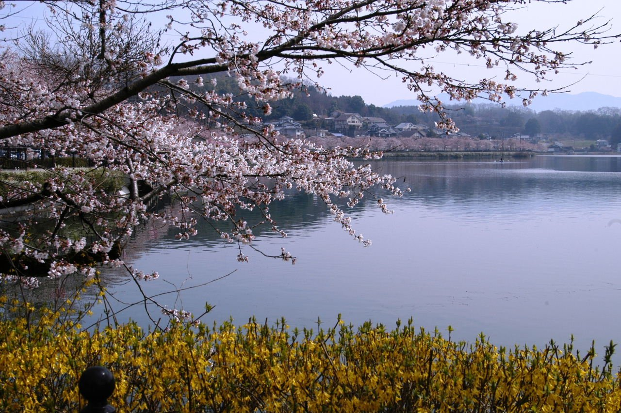 庄原上野公園桜まつり에 대한 이미지 검색결과