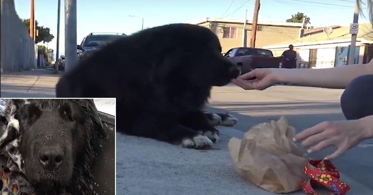 1ec8db8eb84ac 11.jpg?resize=1200,630 - Un immense chien errant est sauvé et trouve une nouvelle maison (vidéo)