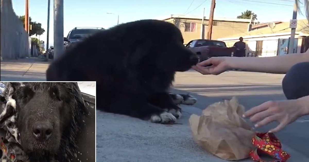 1ec8db8eb84ac 11 - Giant Dog Wandering On The Streets of California Gets Rescued and Finds a New Home (Video)