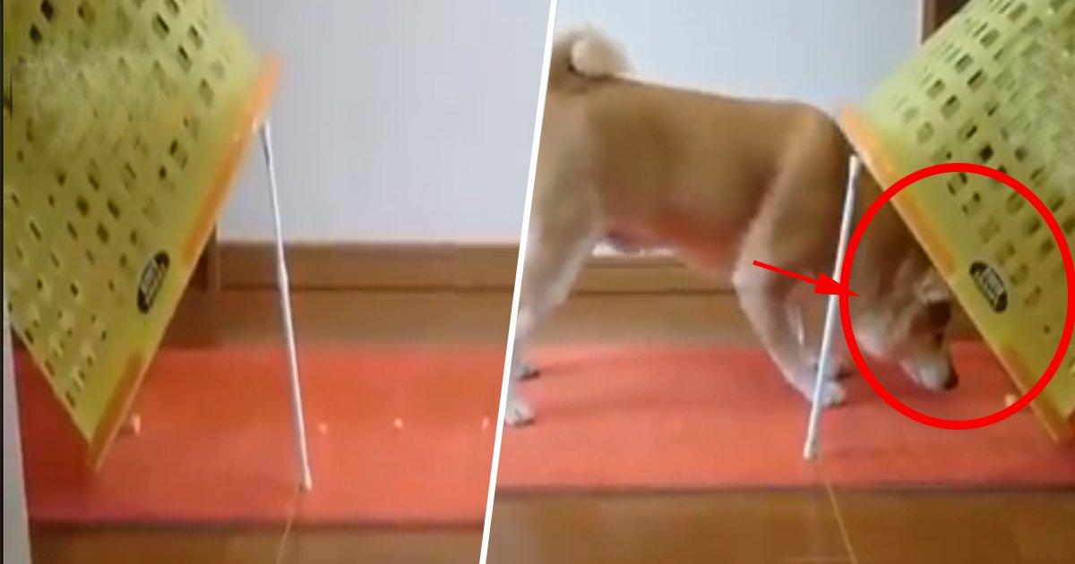 1ec8db8eb84ac 9.jpg?resize=1200,630 - A técnica deste cão para evitar a armadilha de biscoitos é a melhor coisa que você verá hoje (vídeo)