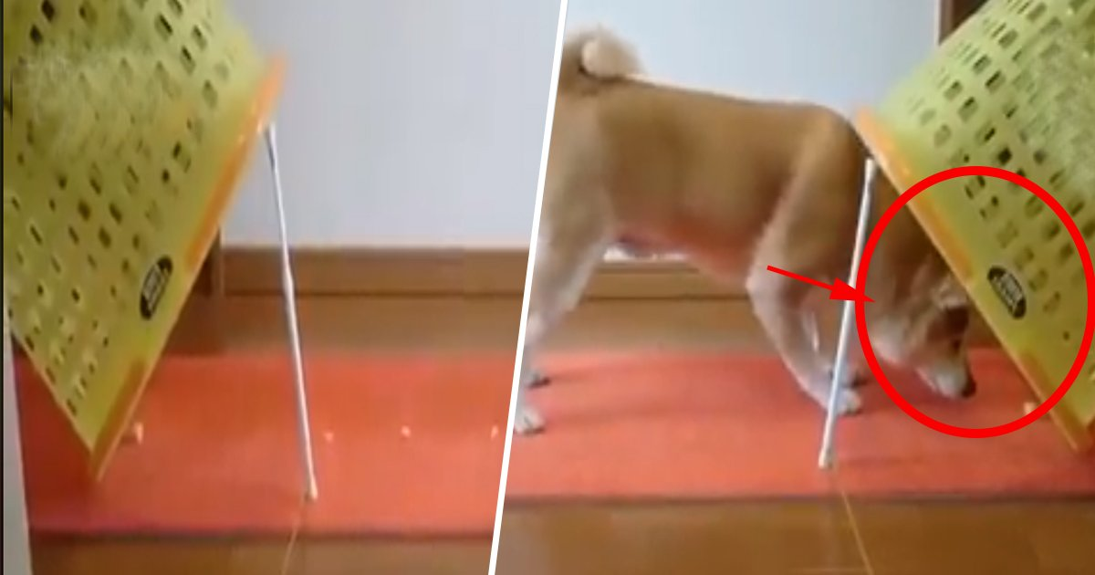 1ec8db8eb84ac 9 - This Dog's Technique To Avoid The Cookies Trap Is The Best Thing You Will See Today (Video)