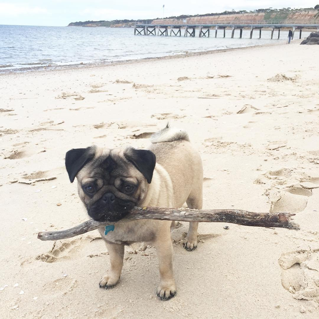 """27879823 417260648713416 1608654922402758656 n1.jpg?resize=648,365 - Pug nadador: cachorro ama ficar na água e até """"surfa"""" com o dono (vídeos fofos)"""