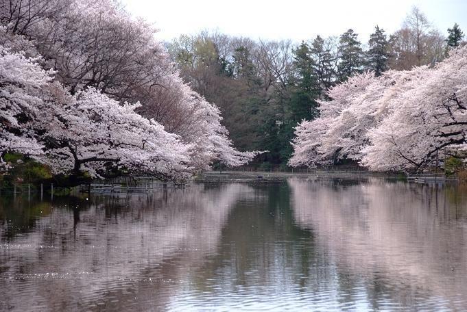 井の頭恩賜公園 お花見에 대한 이미지 검색결과