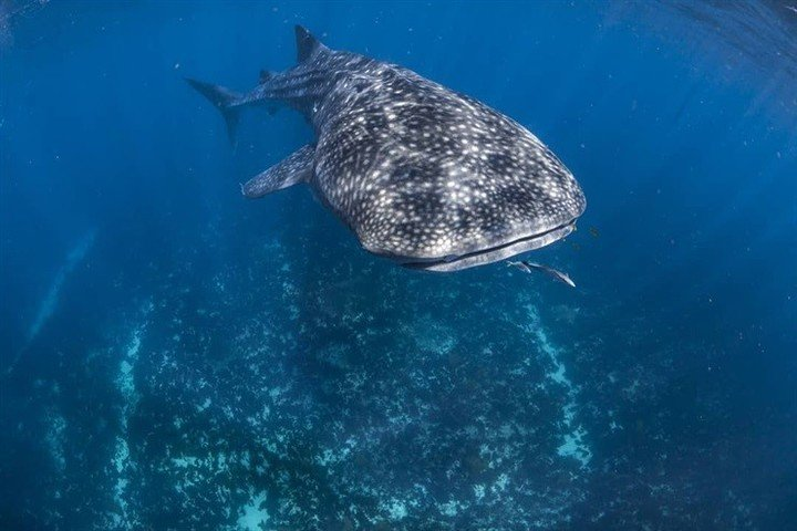 B15smz0uM 720x0  1 - Un fotógrafo capturó al tiburón más grande del mundo con su cámara