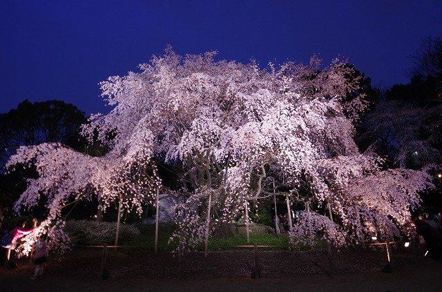 六義園 お花見에 대한 이미지 검색결과