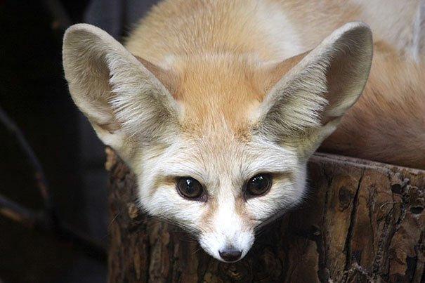 fennec fox vegan diet animal abuse jumanji sonia sae 27 5aa0fc8109504  605 - Vegan YouTuber Puts Her Pet Fox On A Vegan Diet And Ignites An Internet Firestorm