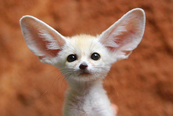 fennec fox vegan diet animal abuse jumanji sonia sae 38 - Vegan YouTuber Puts Her Pet Fox On A Vegan Diet And Ignites An Internet Firestorm