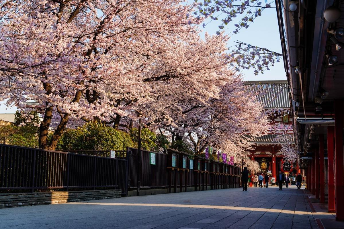 浅草寺 お花見에 대한 이미지 검색결과