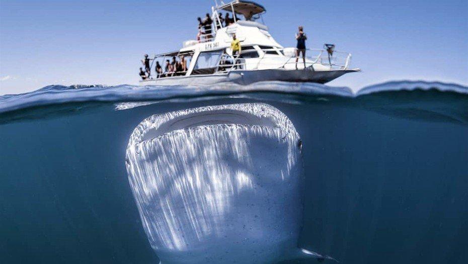 rJbKQG0OM 930x525  1 - Un fotógrafo capturó al tiburón más grande del mundo con su cámara