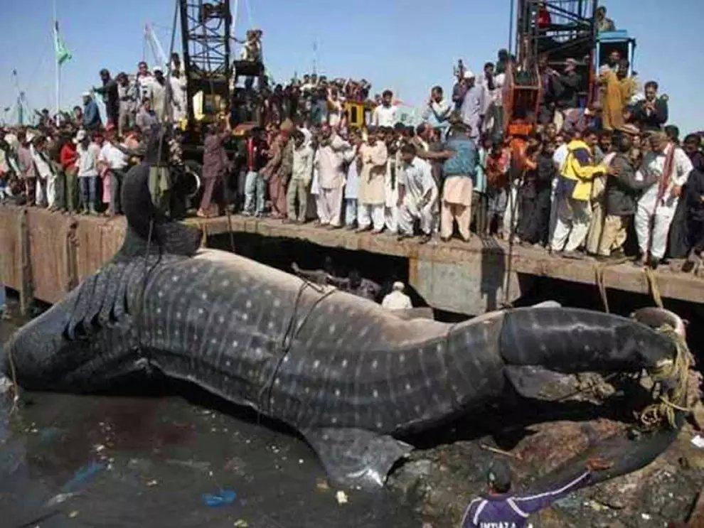 s bAbGahgQJKpZuzq6iTY4XzTLsk0 - 27 casos de animales que crecieron hasta lograr tamaños monstruosos