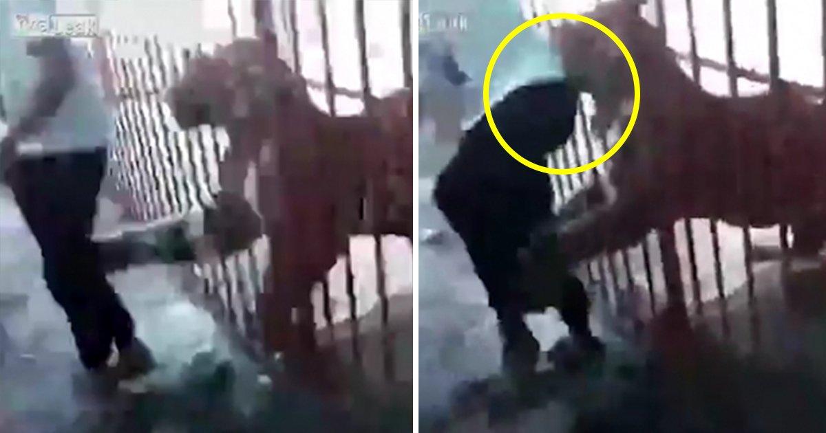 article thumbnail 54 - Tigre encerrado casi mata a un hombre parado frente a su jaula (vídeo)