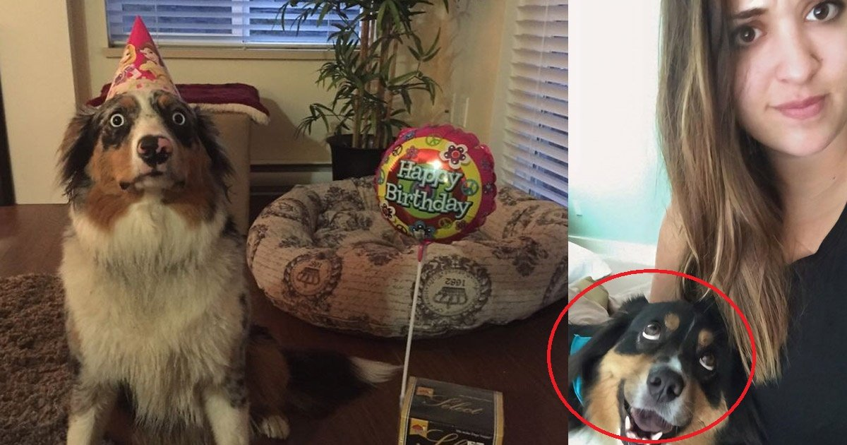 aussie - 10 Reasons Why Australian Shepherds are the Best Companion Dogs