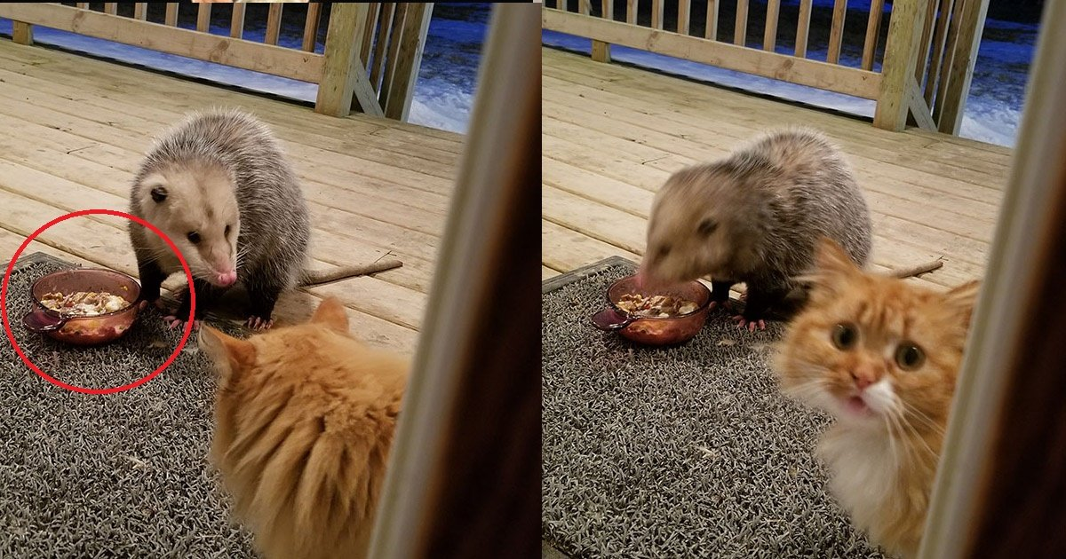 catreaction - Cat's reaction To Possum Stealing Her Food Will Make Your Belly Tickle