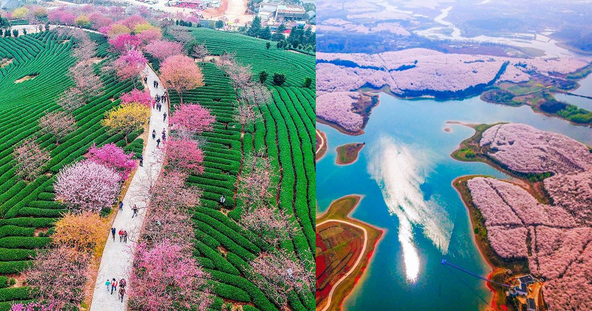 chinacherry.jpg?resize=300,169 - These Bloomed Cherry Blossoms Are One Of the Most Amazing Sights in This World