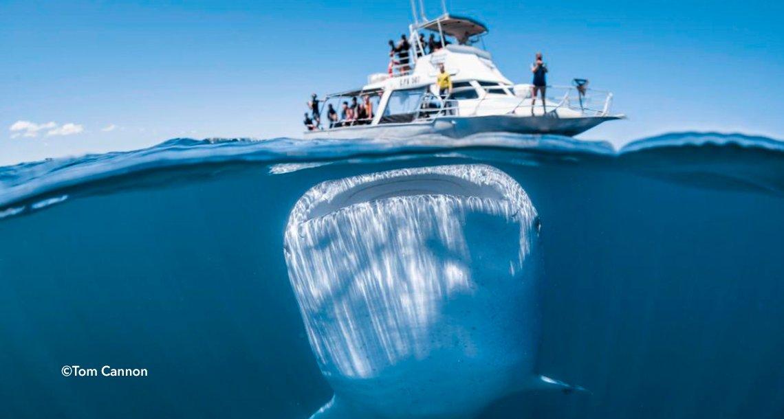 cover 4balle - Un fotógrafo capturó al tiburón más grande del mundo con su cámara