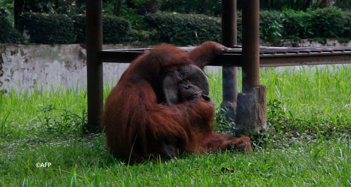 cover 4mono - Indignación por el video de un orangután fumando en un Zoológico