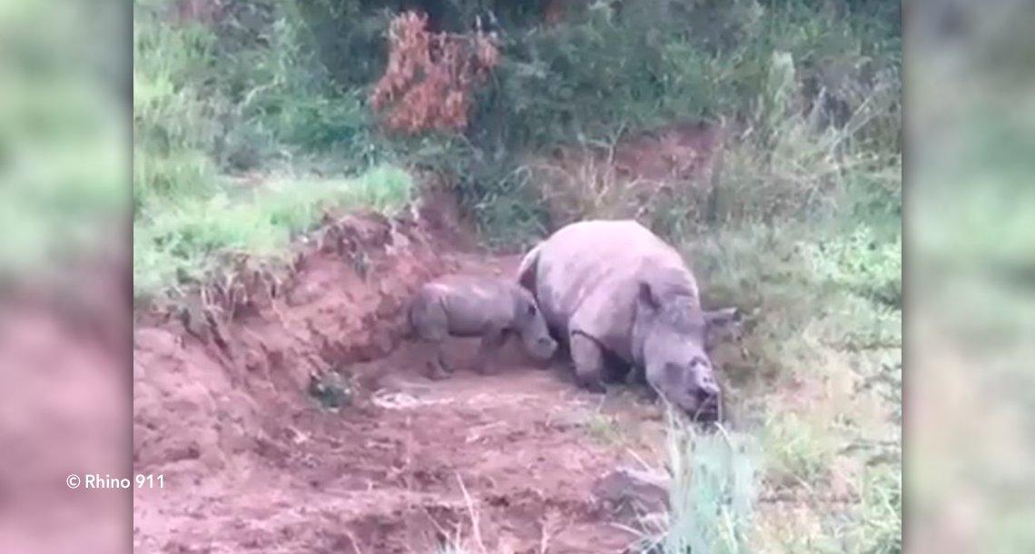 cover 4rinno.png?resize=1200,630 - Impactante video de una pequeña rinoceronte amamantándose de su madre mutilada por cazadores furtivos
