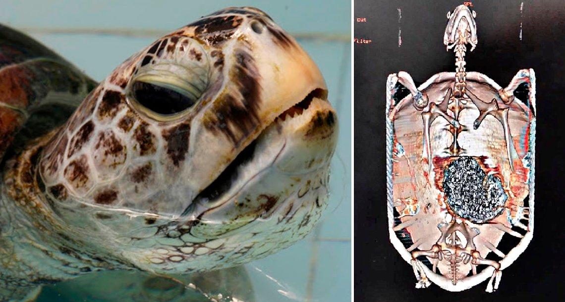 cover 4tort 1.png?resize=1200,630 - El impactante caso de la tortuga que operaron de emergencia, lo que había en su interior horrorizó a miles de personas