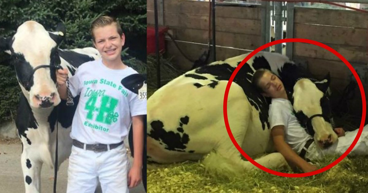 cownap - Tired Boy And His Cow Lose At Dairy Fair And Win The Internet By Sleeping