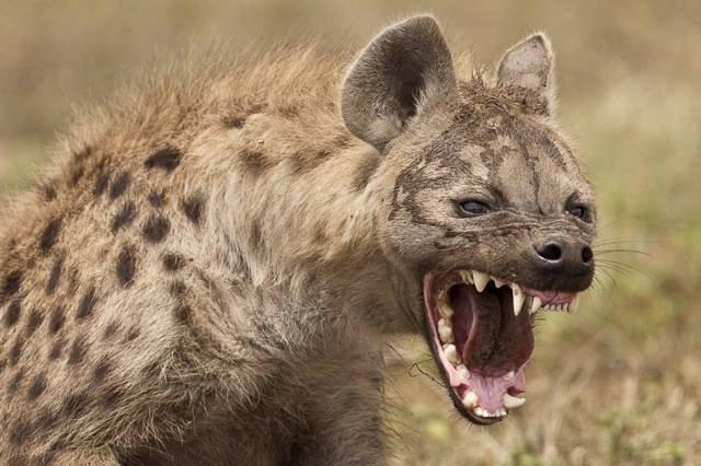 curiosidades-sobre-a-hiena-17