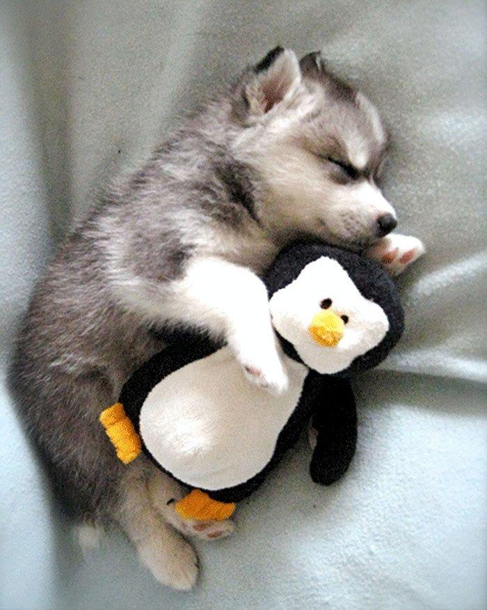 cute-husky-1