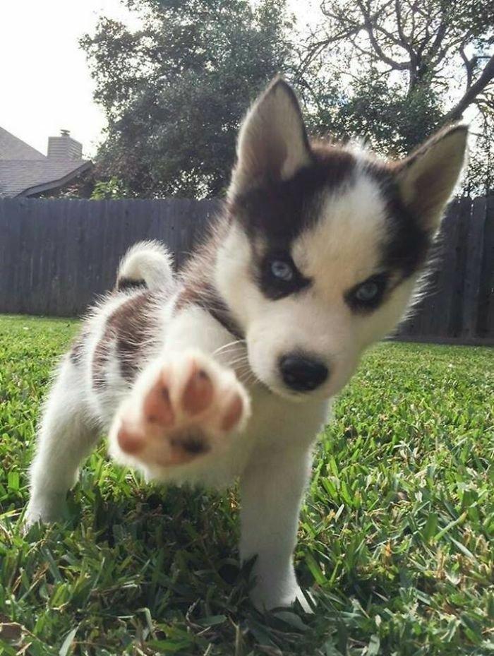cute-husky-5