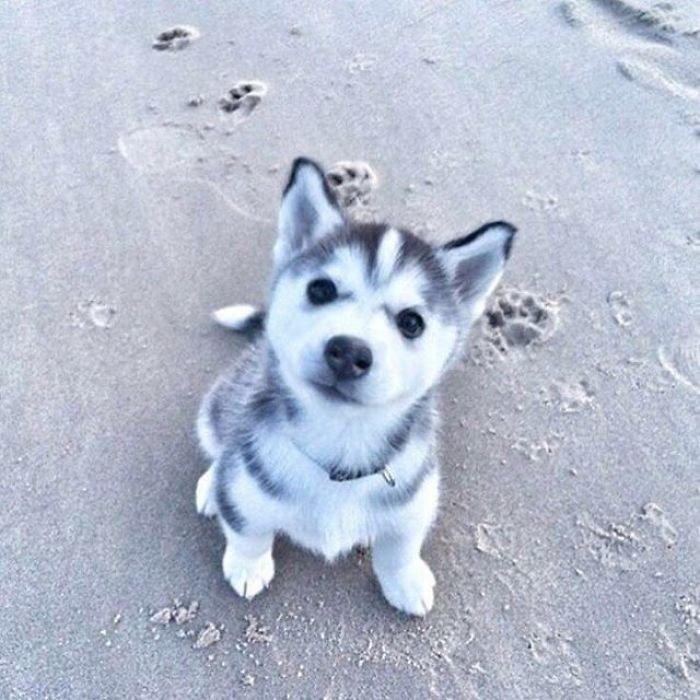 cute-husky-6