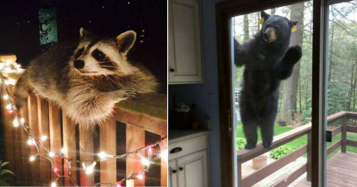 ddsd.jpg?resize=300,169 - '자기 집처럼 드러누운 라쿤..' 심쿵하게 하는 귀여운 손님들, 집으로 찾아온 동물 사진모음