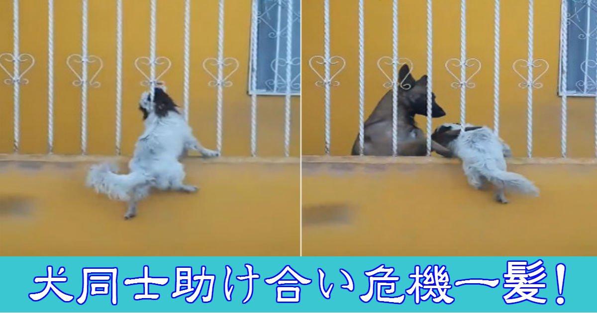 dog 1.jpg?resize=300,169 - 柵にはまってしまった犬を助けたのは…犬だった!犬同士の友情が泣ける