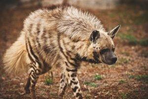 donde-vive-la-hiena