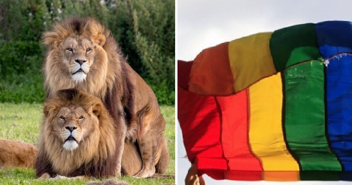 ec8db8eb84ac4 2 1.png?resize=636,358 - Esses dois leões machos são um pouco mais do que apenas amigos
