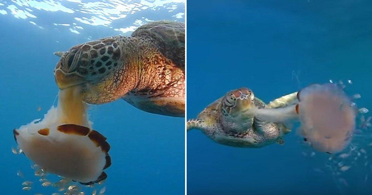 eca09cebaaa9 ec9786ec9d8c 18.png?resize=300,169 - 초대형 해파리를 '파스타'처럼 먹어치우는 바다거북 (영상)