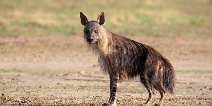hiena-marrom-defensores-da-natureza