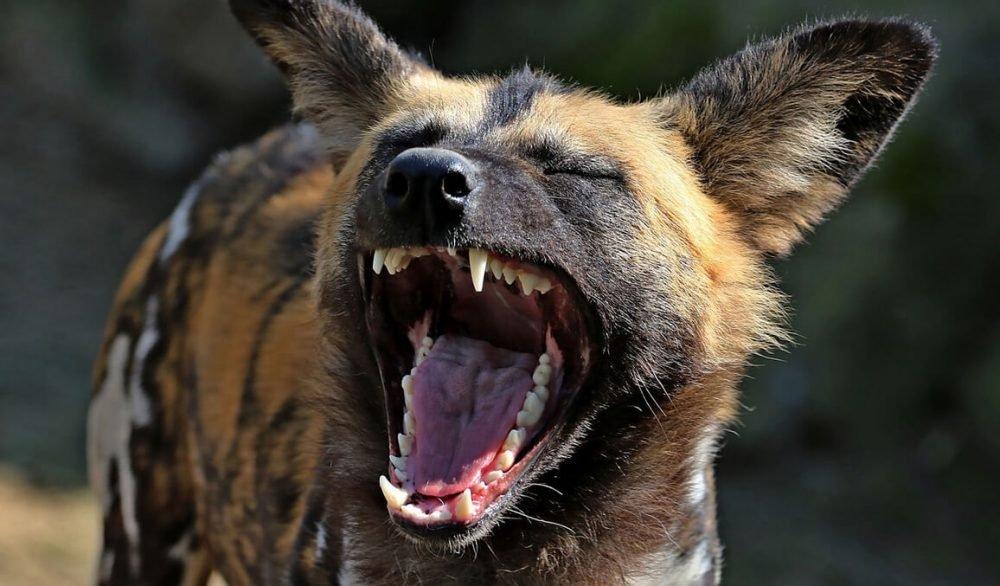 hienas 1.jpg?resize=300,169 - Dez coisas que você talvez não soubesse sobre Hienas