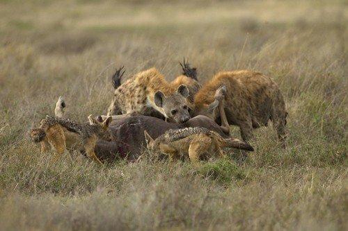 hienas-cacando-3