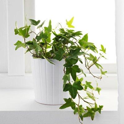 plante d'intérieur recommandée par nasa-10
