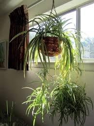 plante d'intérieur recommandée par nasa-2