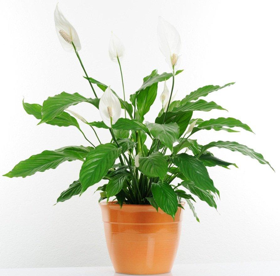 plante d'intérieur recommandée par nasa-4