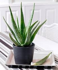 plante d'intérieur recommandé par nasa-8